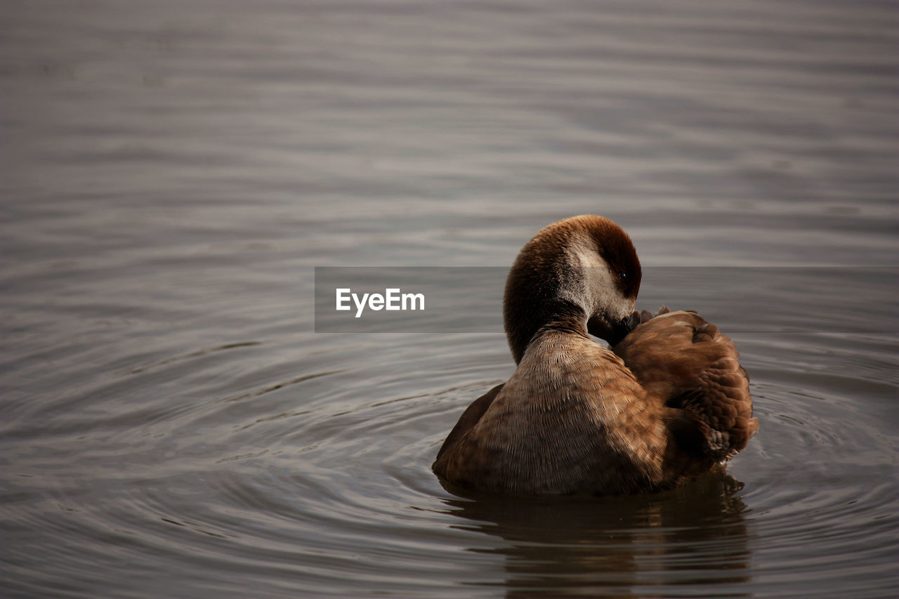 water, animal themes, animal, animal wildlife, lake, waterfront, animals in the wild, vertebrate, swimming, bird, group of animals, no people, nature, water bird, young animal, day, rippled, two animals, duck, animal family