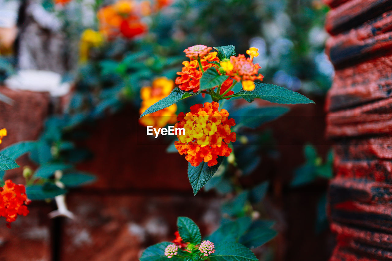 plant, flowering plant, flower, growth, freshness, close-up, no people, plant part, nature, leaf, focus on foreground, beauty in nature, vulnerability, day, fragility, orange color, selective focus, green color, petal, flower head, lantana, outdoors