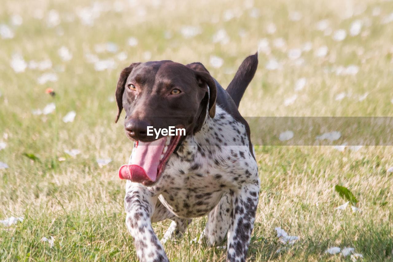 Dog sticking out tongue on land