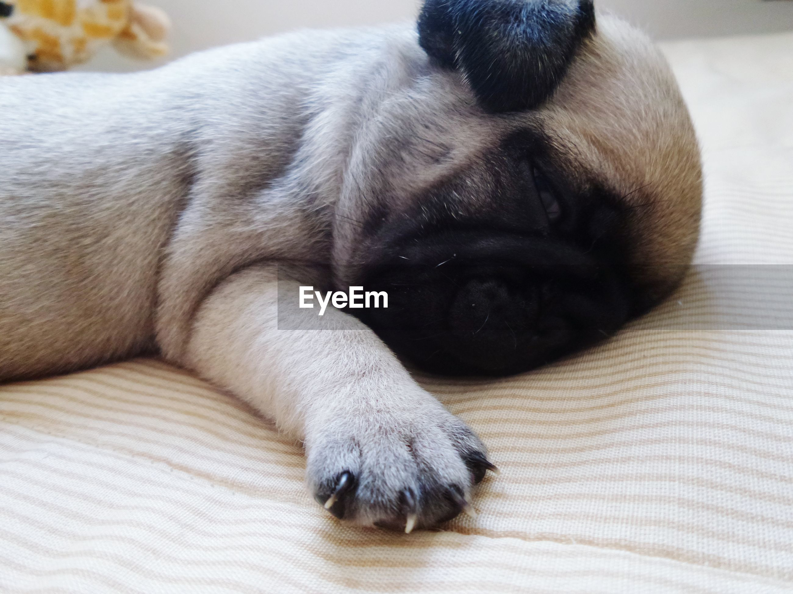 pets, domestic animals, dog, animal themes, mammal, one animal, indoors, relaxation, resting, sleeping, close-up, animal head, lying down, animal body part, bed, comfortable, no people, home interior, eyes closed, focus on foreground