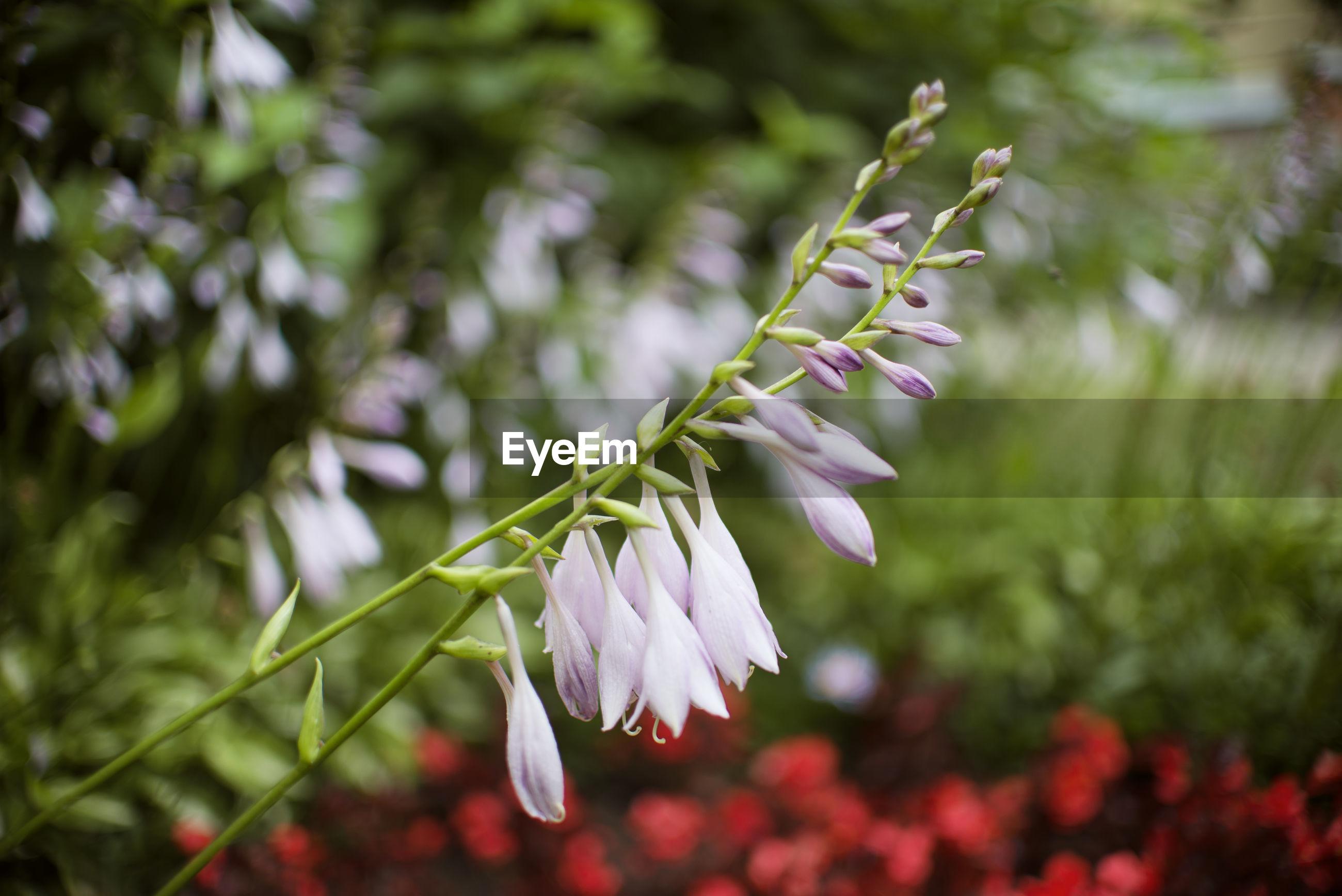 CLOSE-UP OF PURPLE FLOWER PLANT