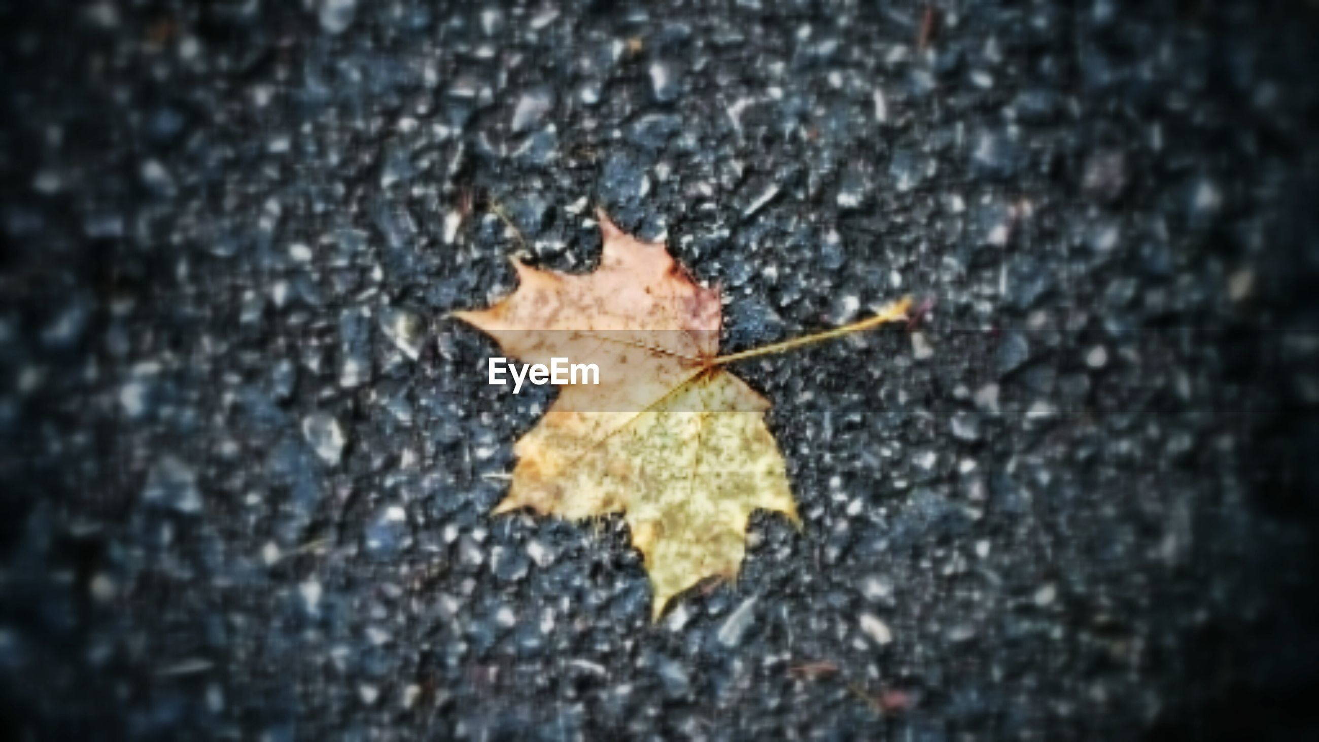 leaf, autumn, dry, change, close-up, textured, leaf vein, fallen, maple leaf, leaves, selective focus, natural pattern, nature, season, natural condition, ground, fragility, outdoors, aging process, rough