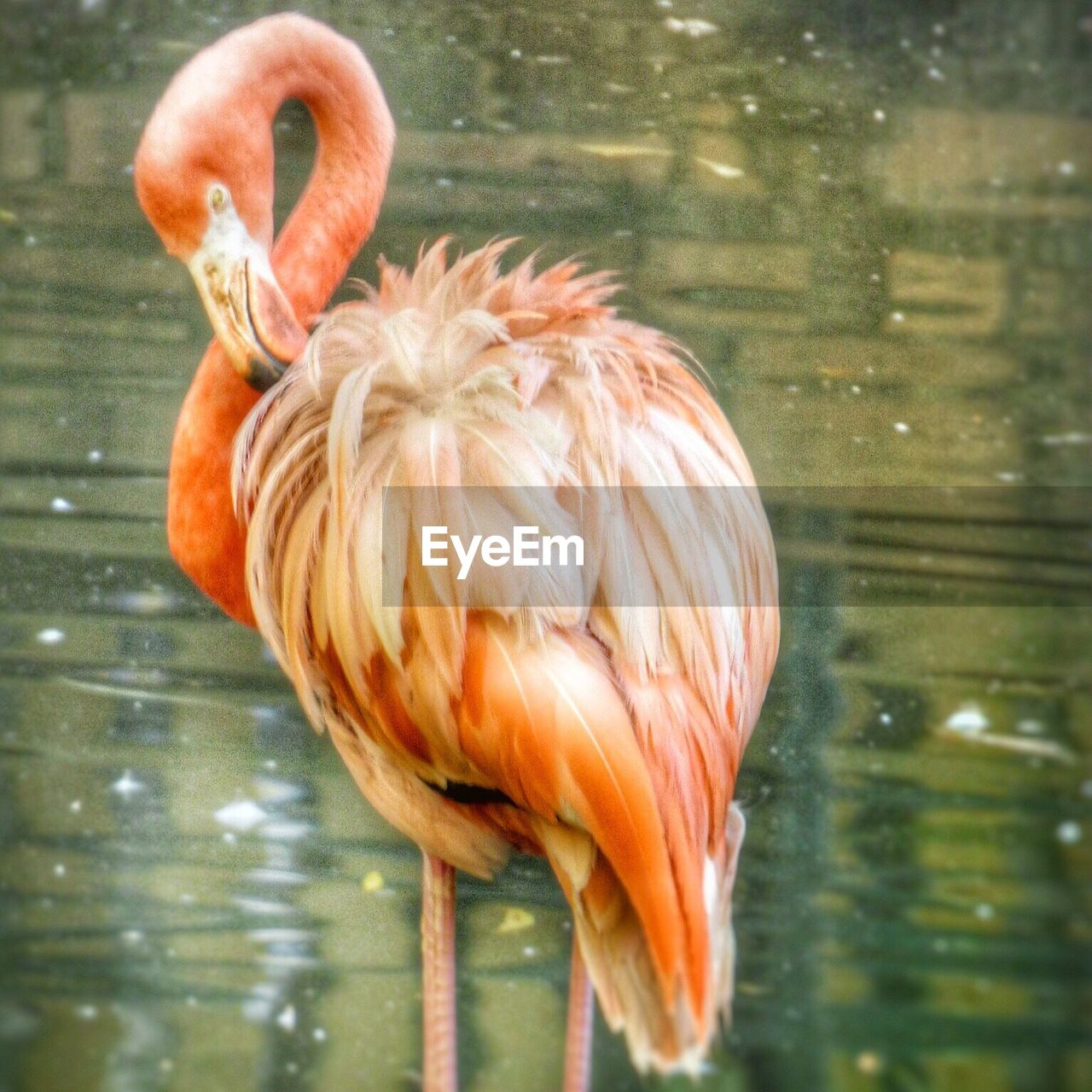 one animal, flamingo, water, animals in the wild, lake, bird, animal themes, animal wildlife, no people, day, outdoors, nature, close-up