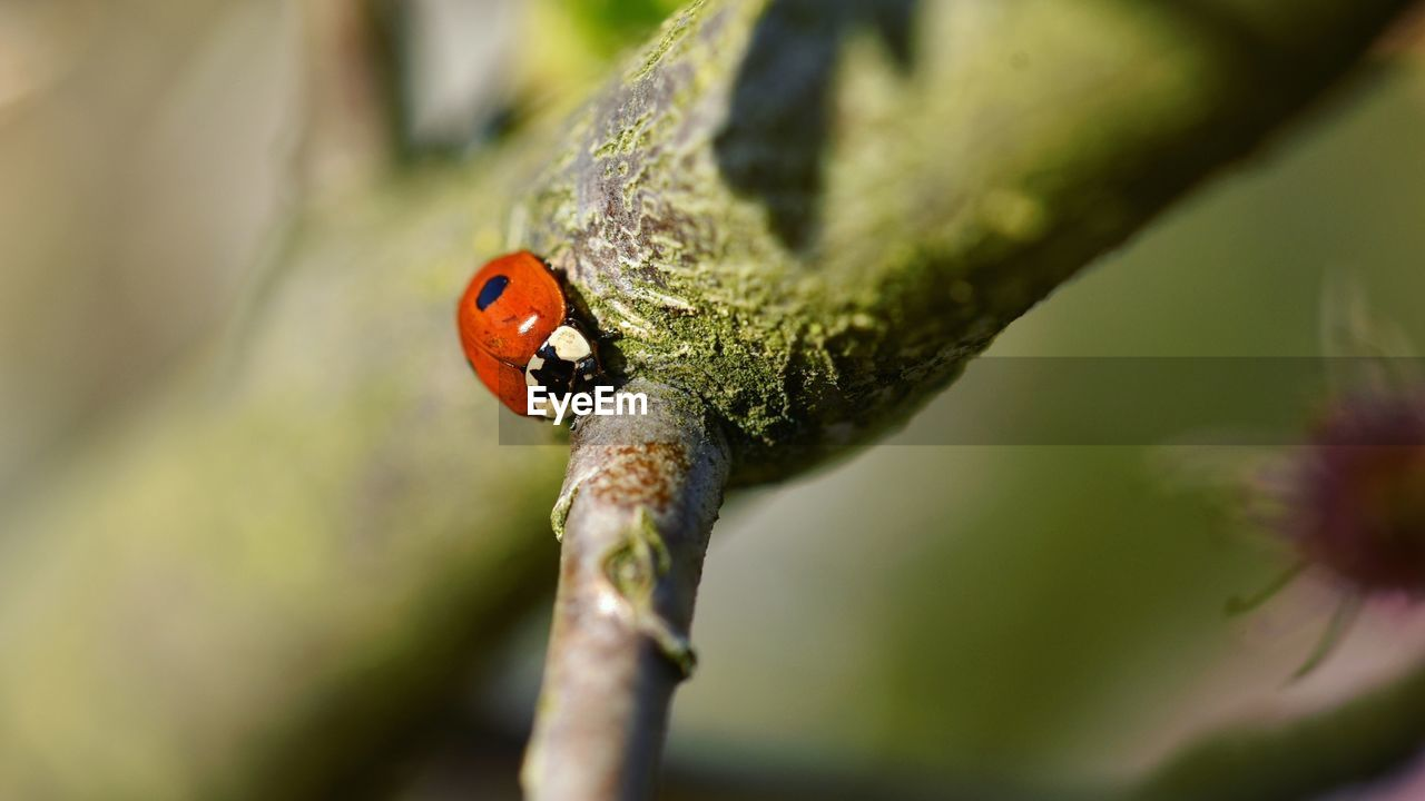 invertebrate, ladybug, animal wildlife, insect, animal themes, animal, beetle, plant, animals in the wild, selective focus, one animal, close-up, day, nature, no people, red, focus on foreground, spotted, tree, beauty in nature, outdoors, small