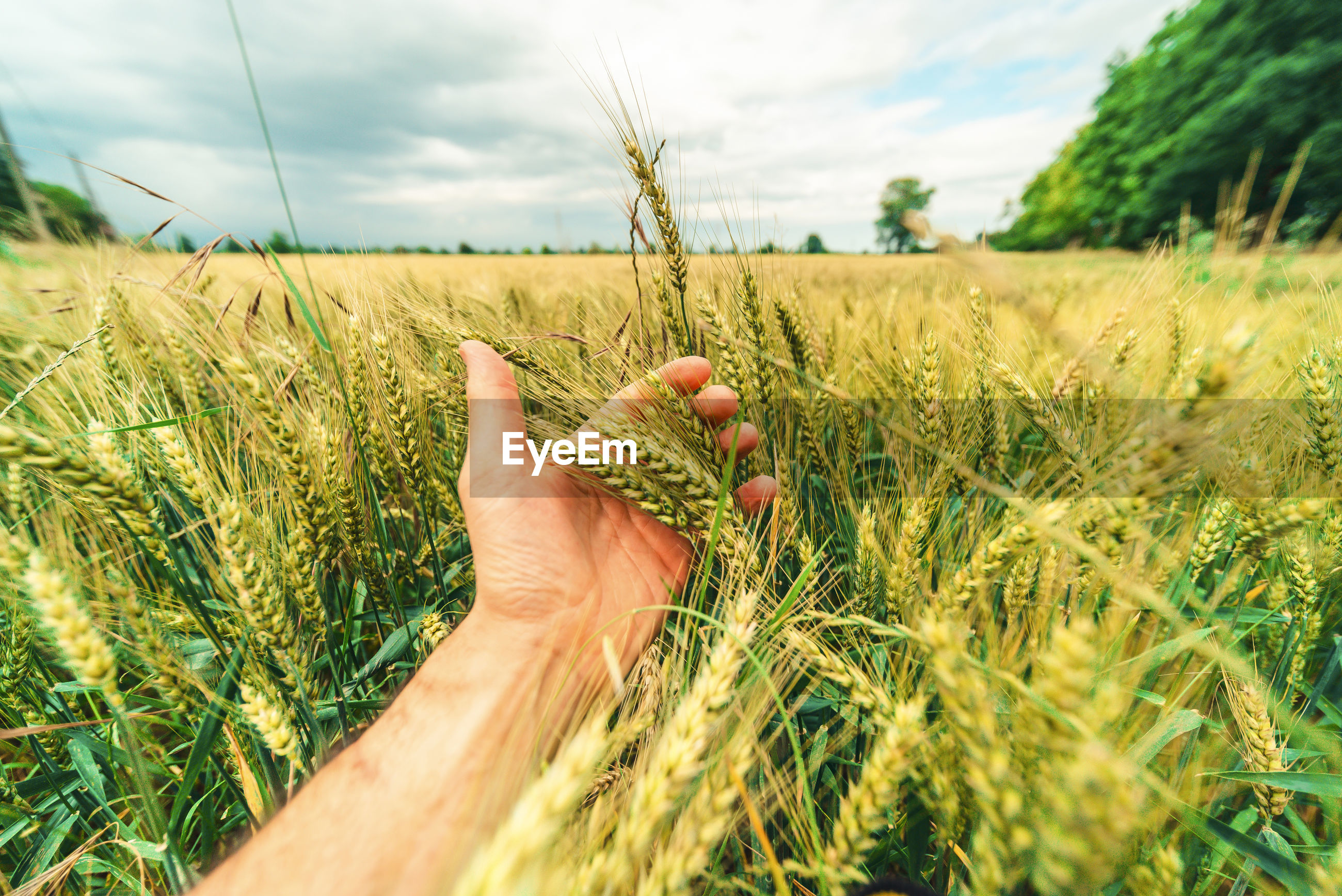 Wheat ears in a farmer's hand. harvest concept