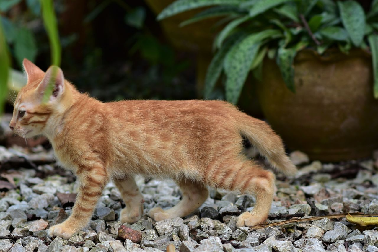 one animal, animal themes, domestic cat, mammal, feline, pets, domestic animals, no people, day, ginger cat, outdoors, standing, nature