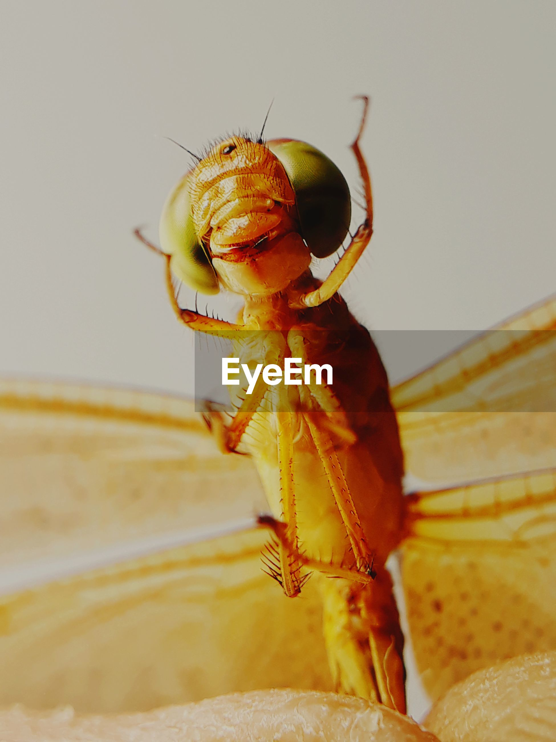 insect, invertebrate, close-up, animal, one animal, animal wildlife, animal themes, animals in the wild, selective focus, no people, indoors, focus on foreground, animal body part, day, nature, yellow, zoology, animal wing, macro, animal eye