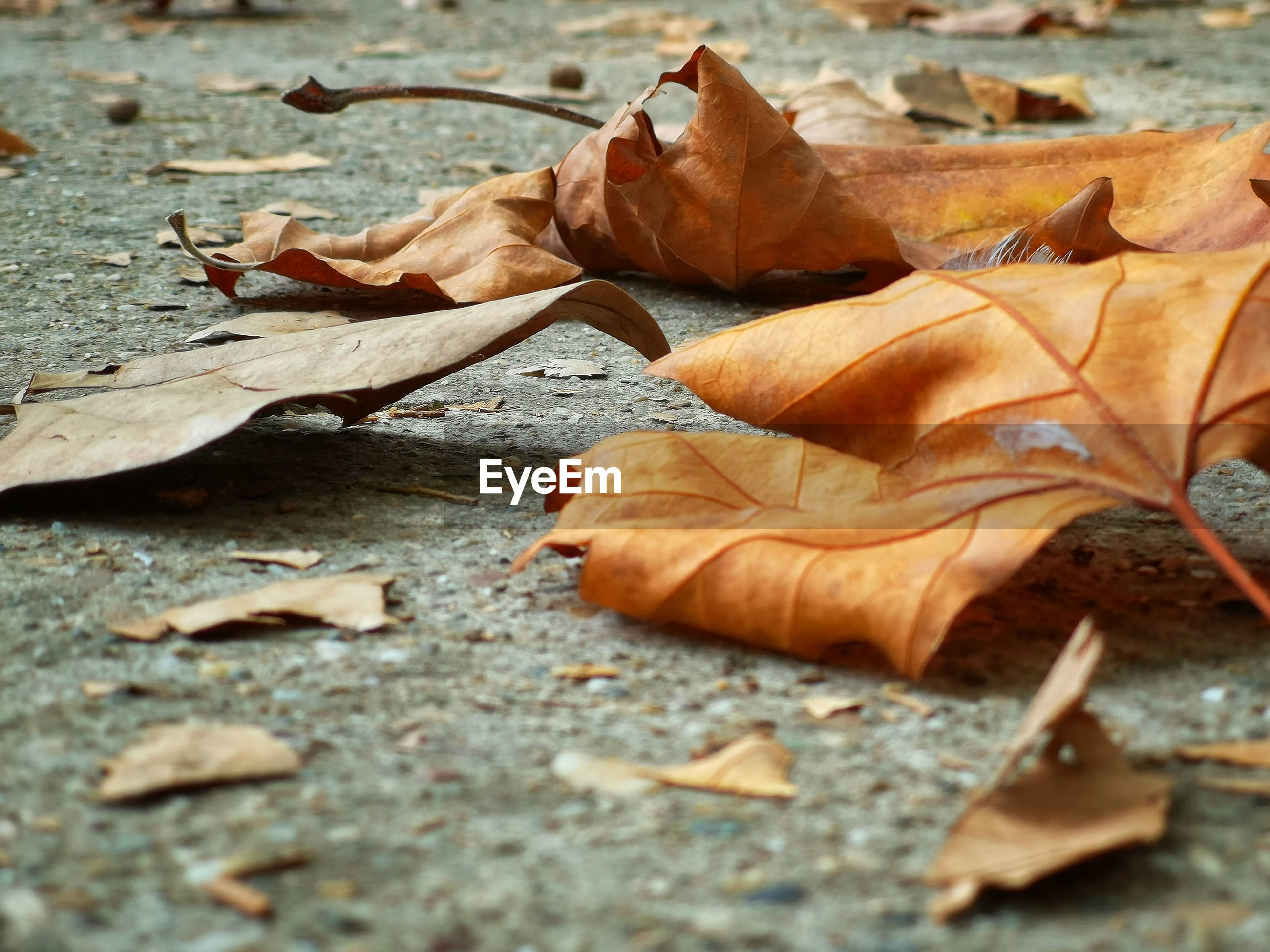 CLOSE-UP OF DRY MAPLE LEAVES ON AUTUMNAL
