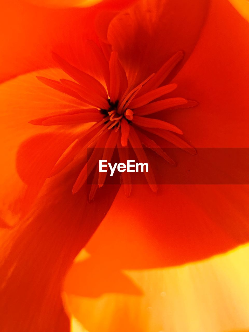 flower, flowering plant, petal, plant, beauty in nature, close-up, freshness, flower head, inflorescence, fragility, vulnerability, pollen, growth, full frame, orange color, no people, nature, red, backgrounds