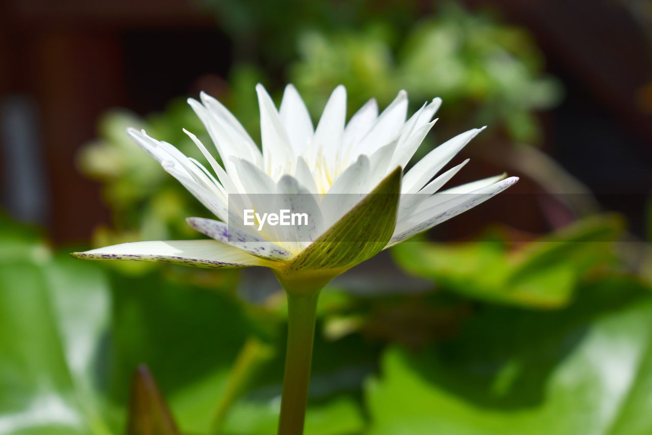 flowering plant, flower, freshness, beauty in nature, vulnerability, plant, fragility, petal, growth, close-up, white color, inflorescence, flower head, focus on foreground, nature, day, leaf, no people, plant part, selective focus, sepal