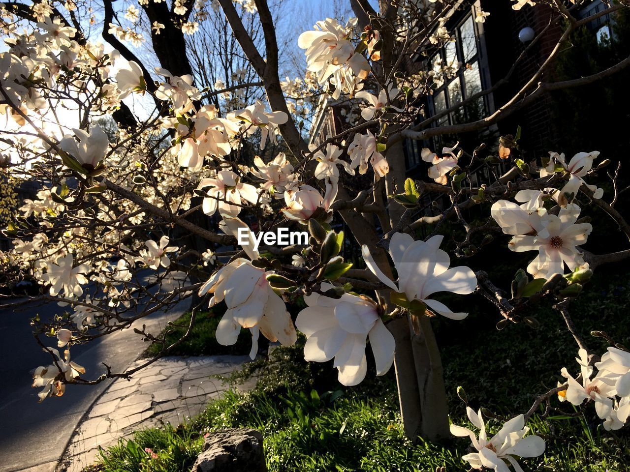 plant, flowering plant, flower, growth, beauty in nature, fragility, freshness, vulnerability, tree, blossom, white color, nature, springtime, petal, no people, day, close-up, branch, botany, sunlight, outdoors, cherry blossom, flower head, cherry tree, spring