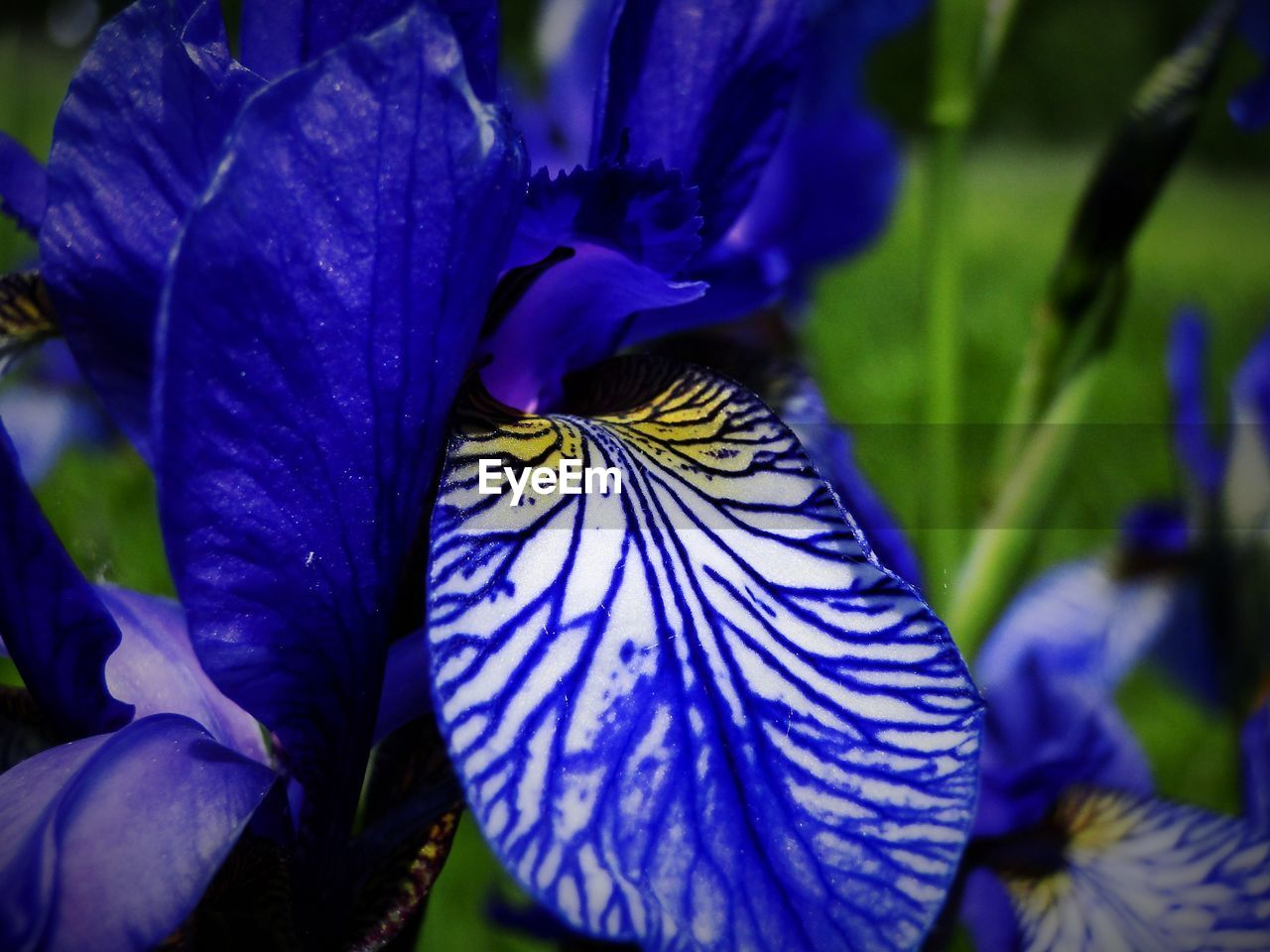 Close-up of iris blooming on field