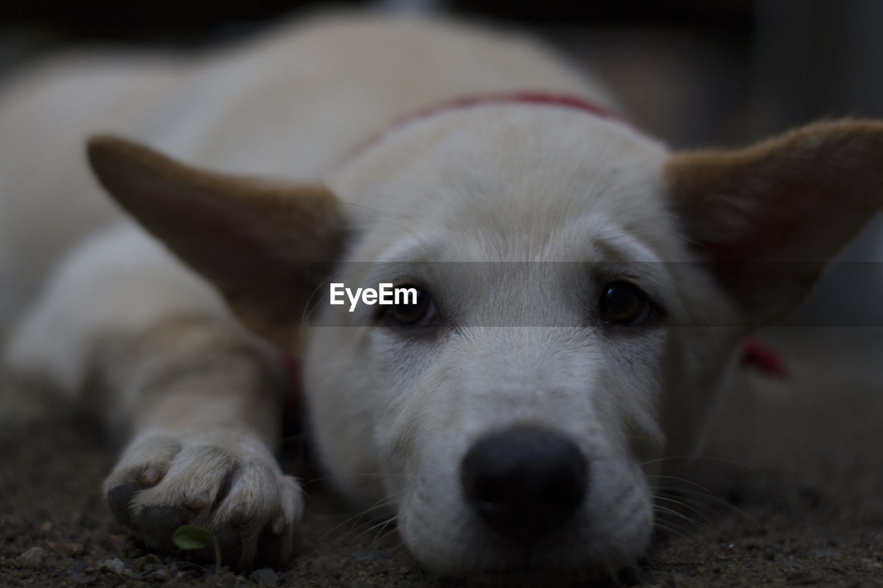 pets, domestic, domestic animals, mammal, one animal, canine, dog, vertebrate, looking at camera, portrait, animal body part, close-up, relaxation, no people, focus on foreground, resting, whisker, animal nose, snout, animal eye