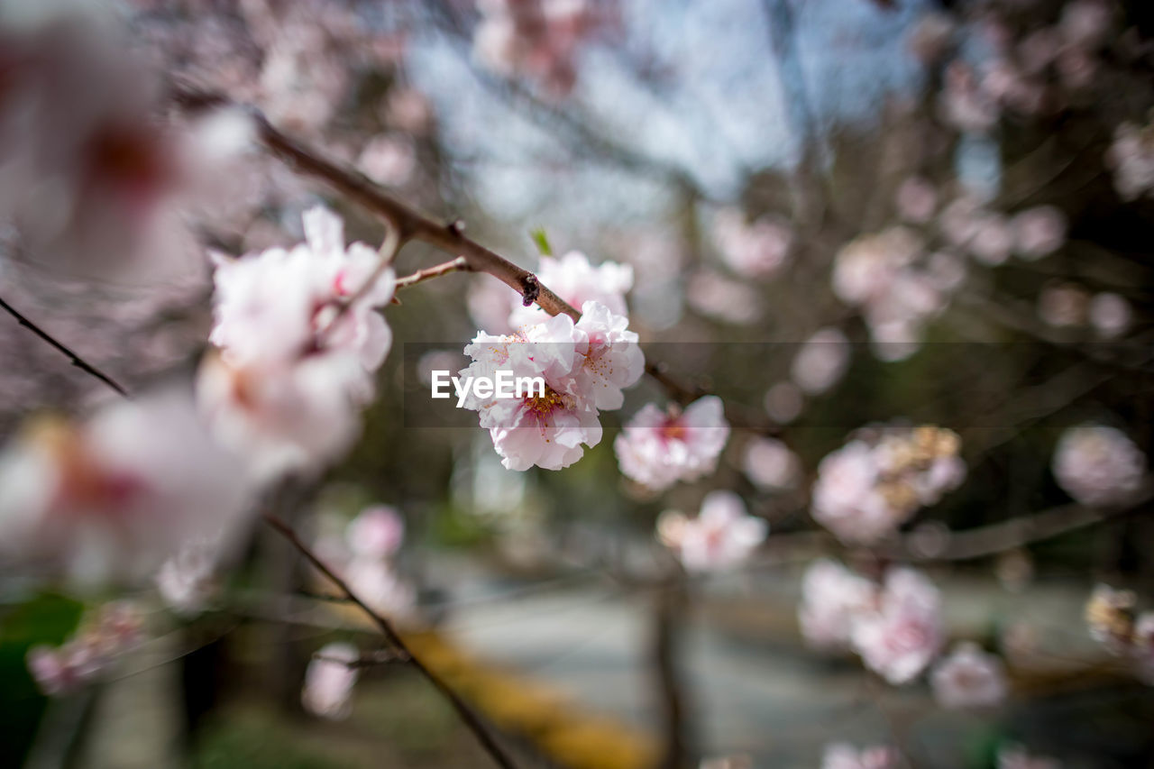 flower, flowering plant, fragility, plant, vulnerability, beauty in nature, growth, freshness, blossom, tree, branch, springtime, cherry blossom, twig, nature, petal, cherry tree, day, close-up, pink color, flower head, no people, outdoors, plum blossom, pollen, spring