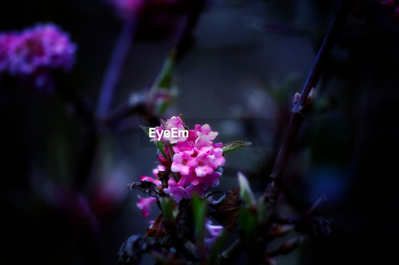 flower, nature, fragility, beauty in nature, freshness, growth, purple, petal, plant, no people, pink color, focus on foreground, flower head, close-up, outdoors, day, blooming