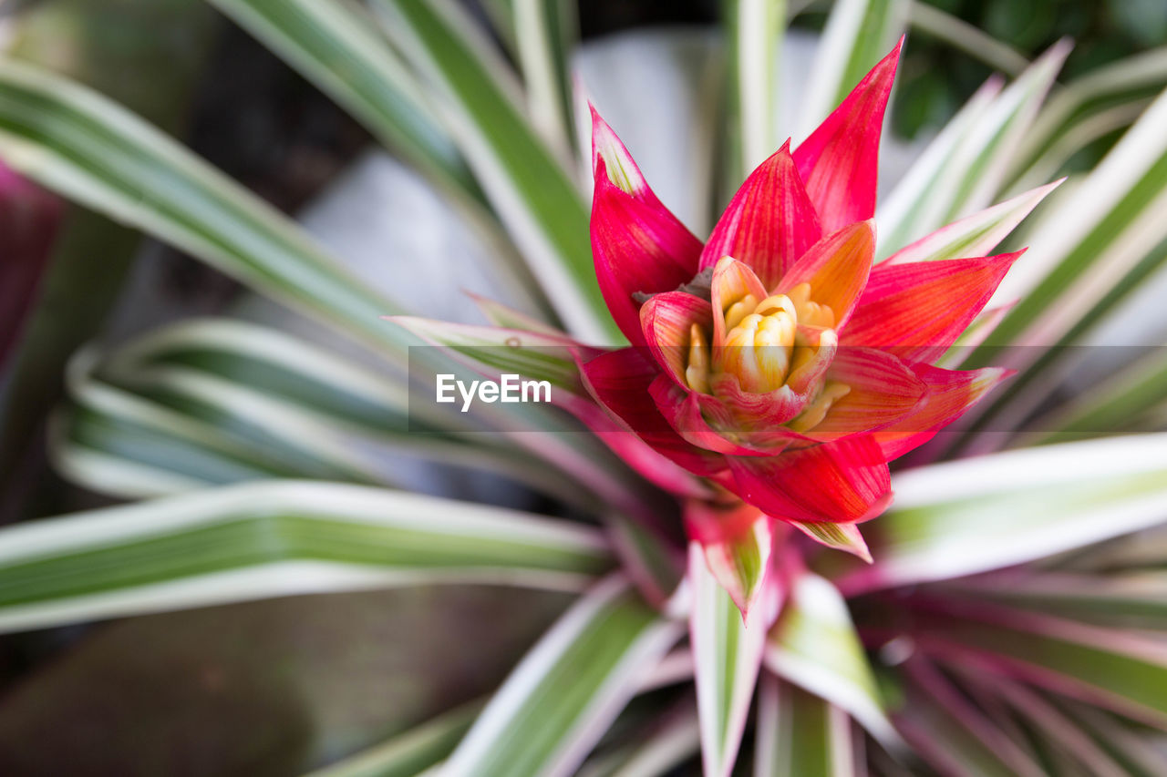 flowering plant, flower, beauty in nature, plant, vulnerability, fragility, freshness, petal, growth, close-up, inflorescence, flower head, nature, red, day, focus on foreground, no people, plant part, leaf, pollen