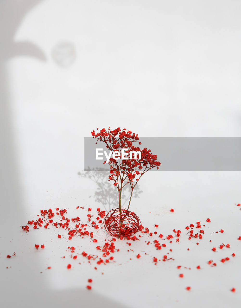 red, studio shot, white background, no people, table, indoors, close-up, flower, nature, day, freshness