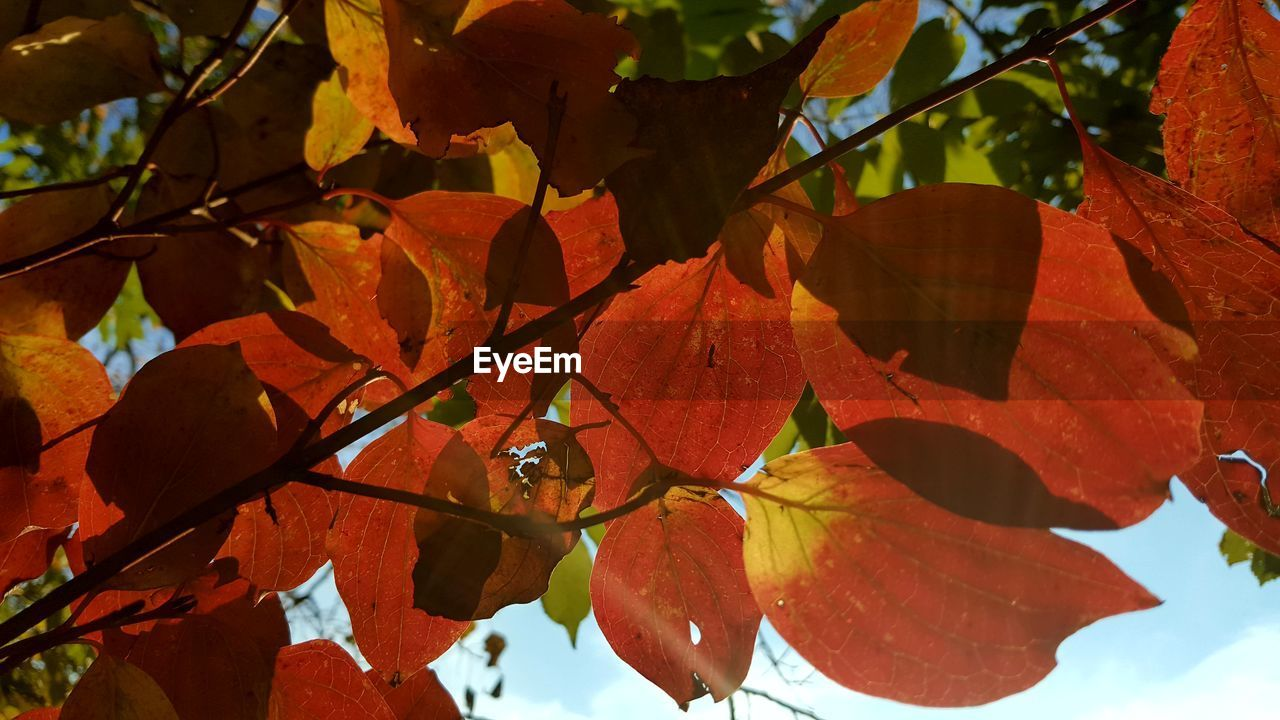 leaf, autumn, nature, beauty in nature, change, outdoors, day, growth, no people, sunlight, close-up, branch, fragility, tree, freshness, sky