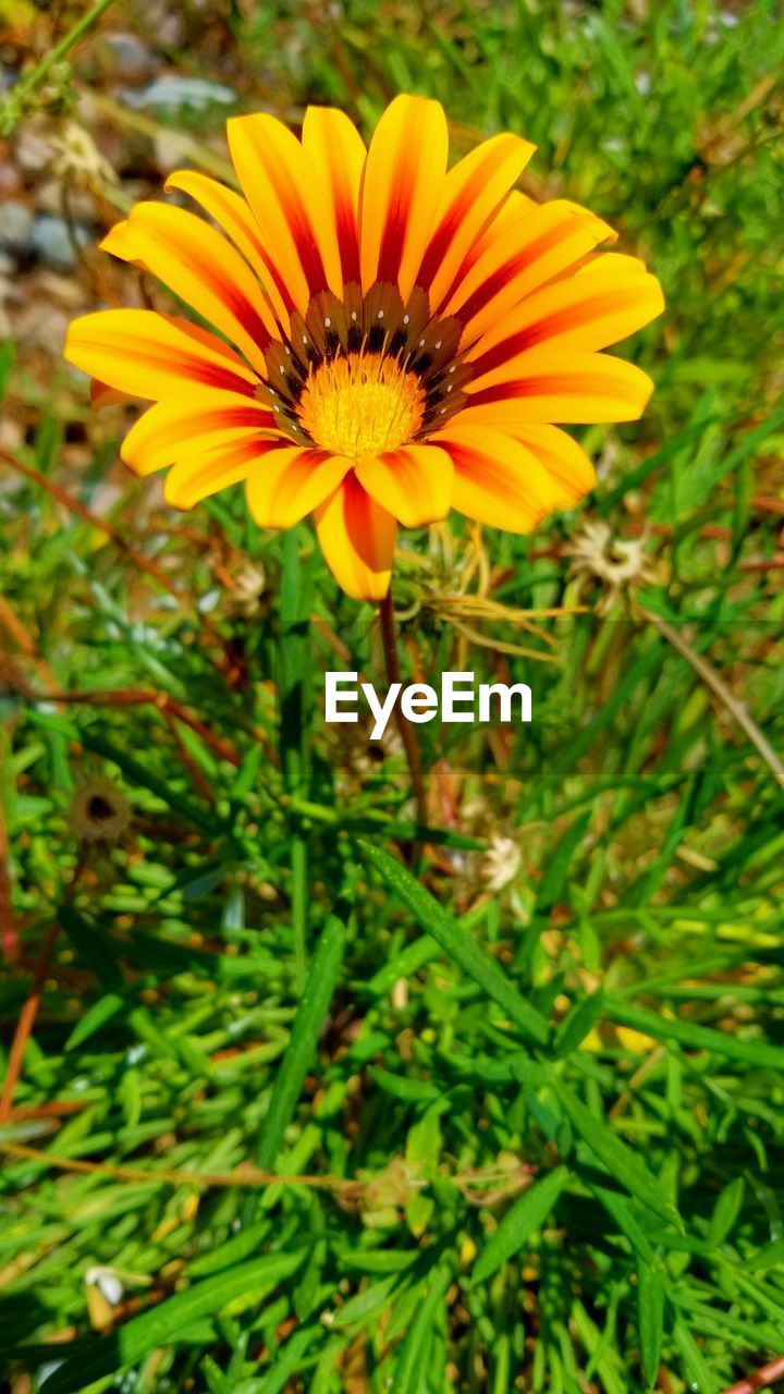 flowering plant, flower, plant, beauty in nature, fragility, petal, freshness, growth, flower head, vulnerability, yellow, inflorescence, close-up, nature, no people, day, pollen, focus on foreground, land, gazania, pollination