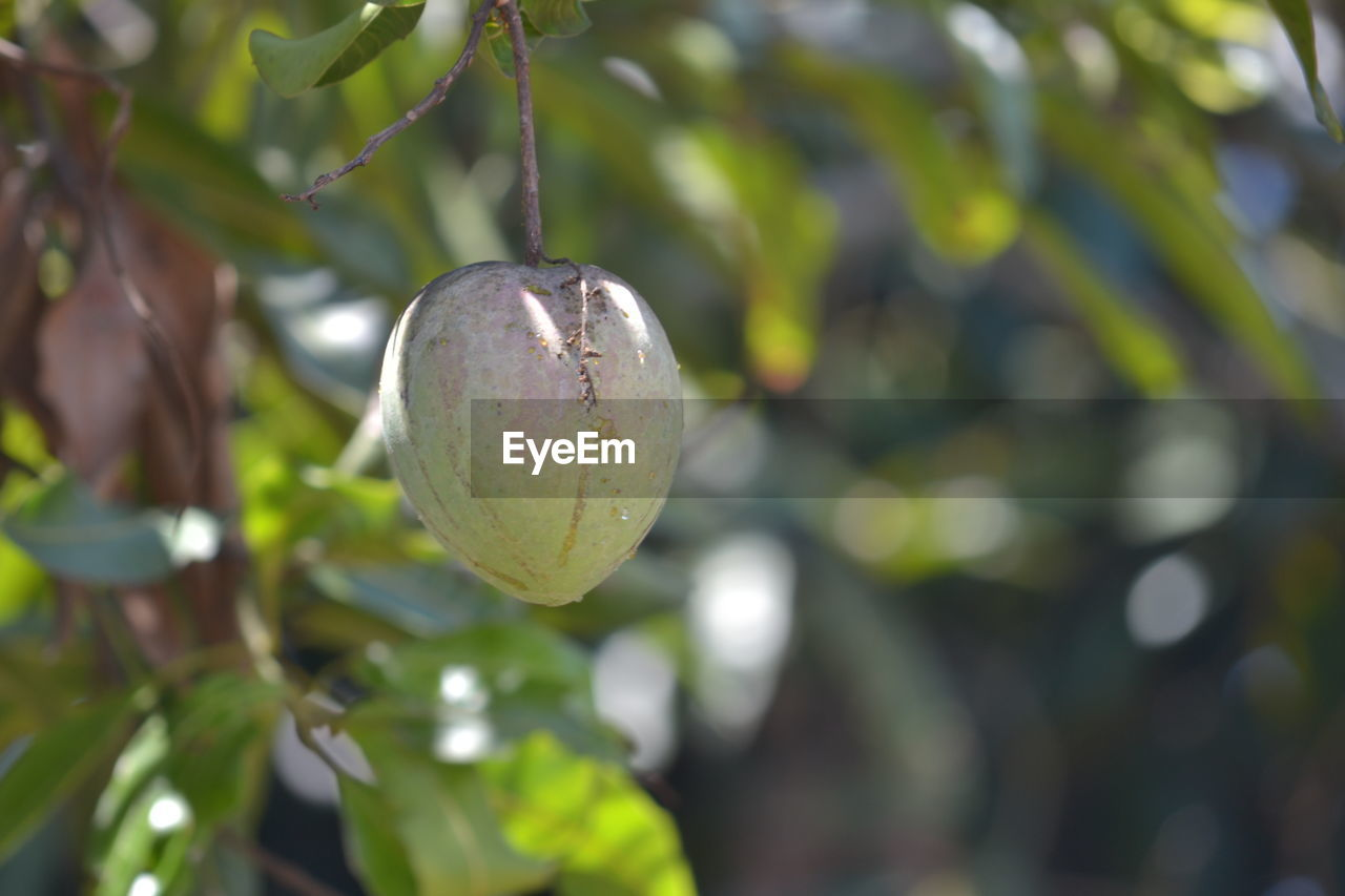 growth, plant, close-up, fruit, green color, tree, food, freshness, day, focus on foreground, nature, healthy eating, no people, food and drink, beauty in nature, leaf, plant part, branch, agriculture, outdoors