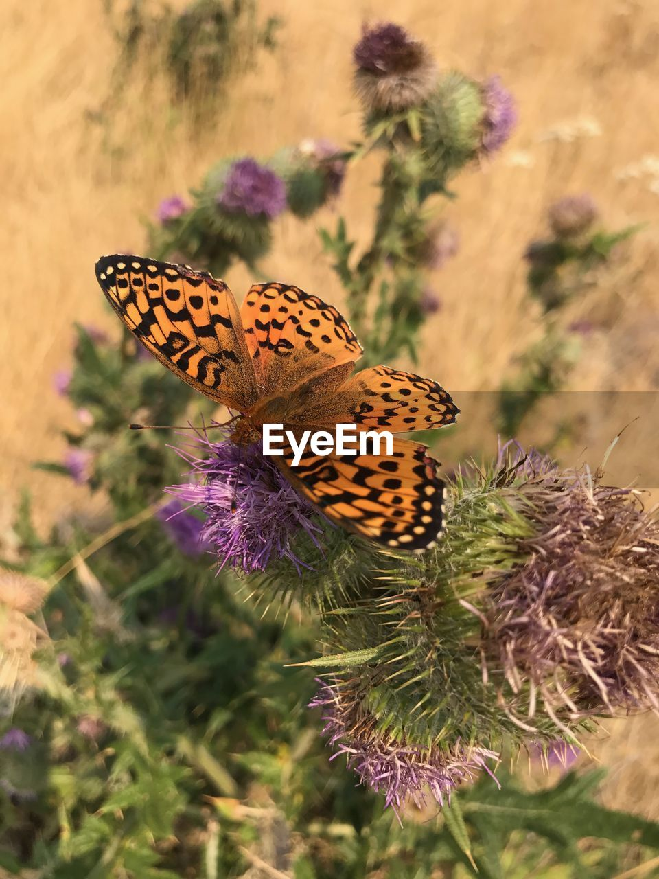 insect, nature, butterfly - insect, one animal, animals in the wild, focus on foreground, animal themes, plant, beauty in nature, purple, no people, butterfly, close-up, day, flower, fragility, outdoors, growth, flower head, pollination, freshness, perching