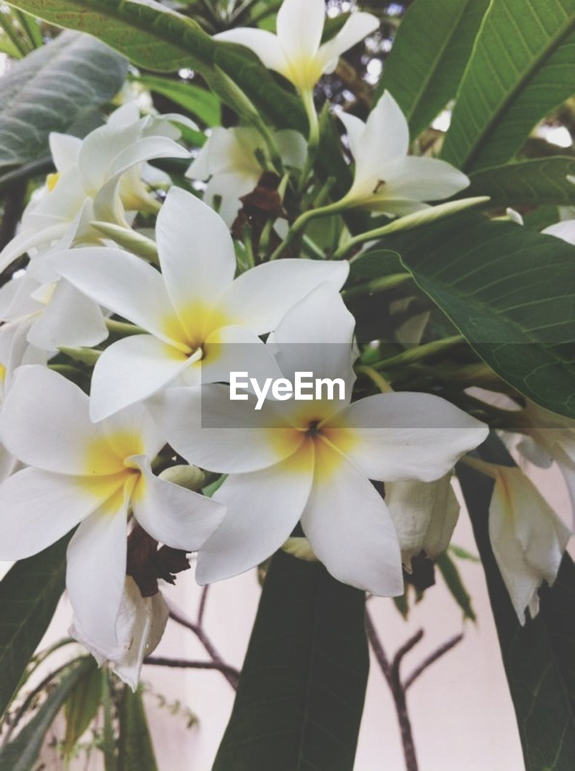 flower, white color, freshness, growth, petal, fragility, close-up, beauty in nature, nature, leaf, flower head, blooming, white, focus on foreground, plant, tree, day, blossom, branch, low angle view