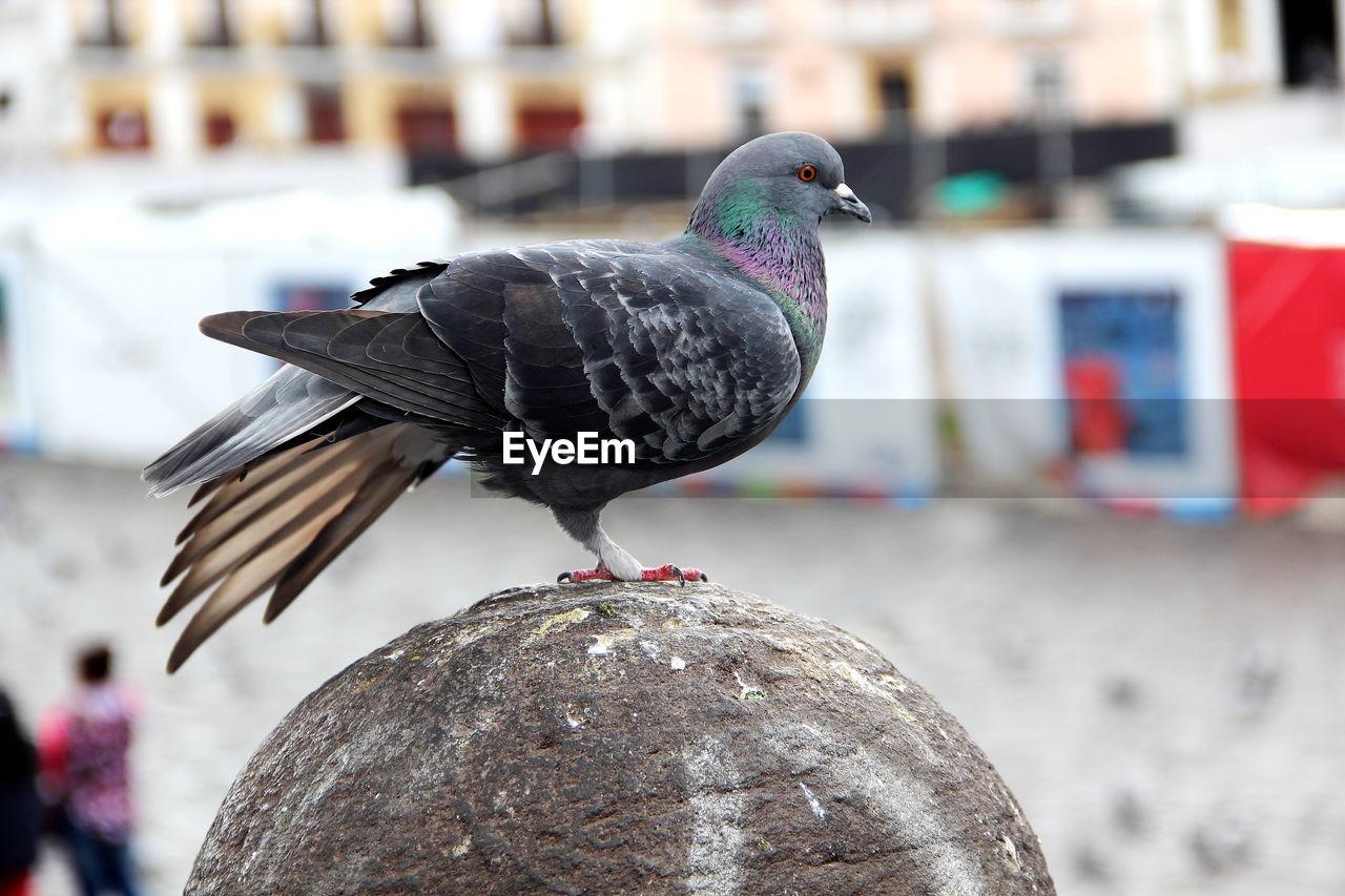 Close-Up Of Pigeon On Bollard