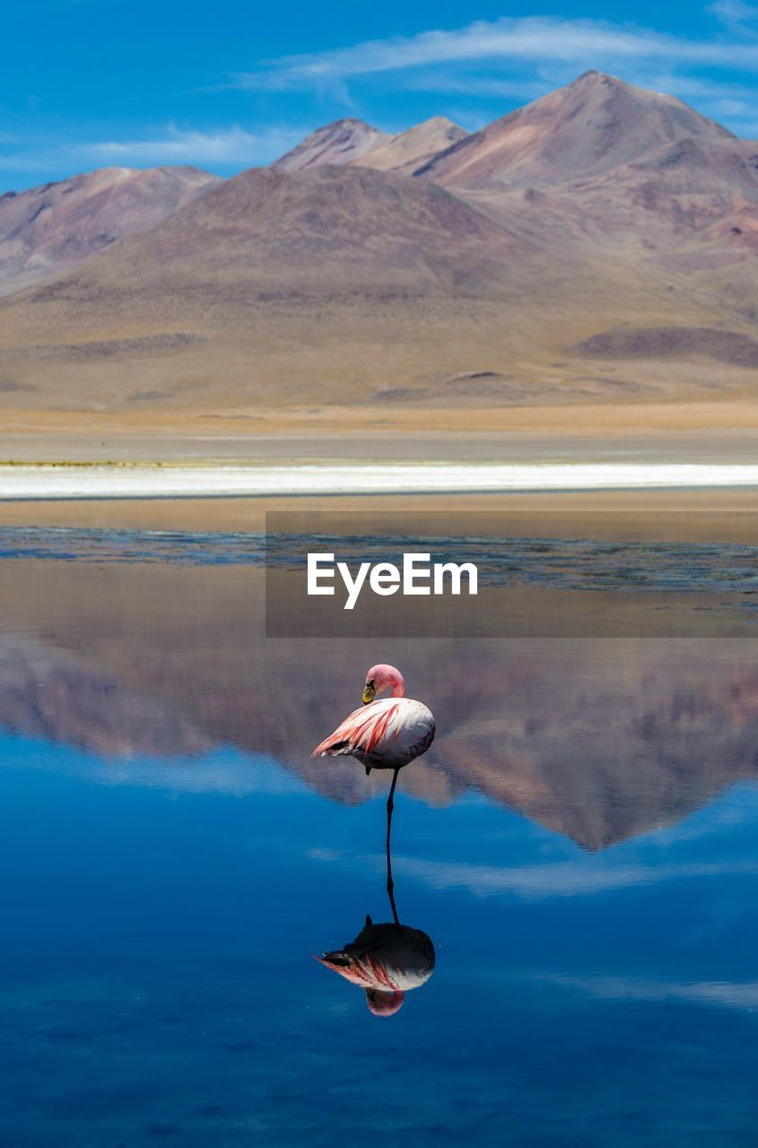 Flamingo In Lake With Mountain Reflection