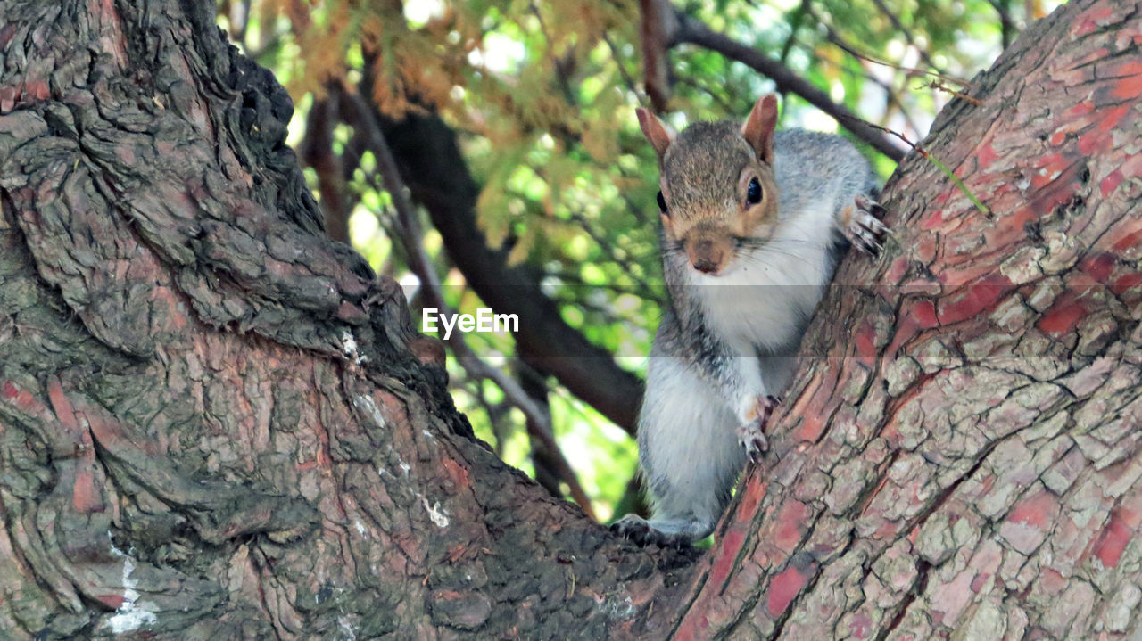 tree trunk, tree, one animal, animal themes, squirrel, focus on foreground, day, animals in the wild, outdoors, animal wildlife, branch, mammal, nature, no people, low angle view, woodpecker, close-up