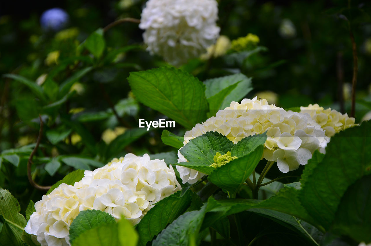 flower, leaf, growth, freshness, green color, beauty in nature, petal, white color, fragility, plant, focus on foreground, blooming, nature, flower head, no people, outdoors, day, lantana camara, close-up