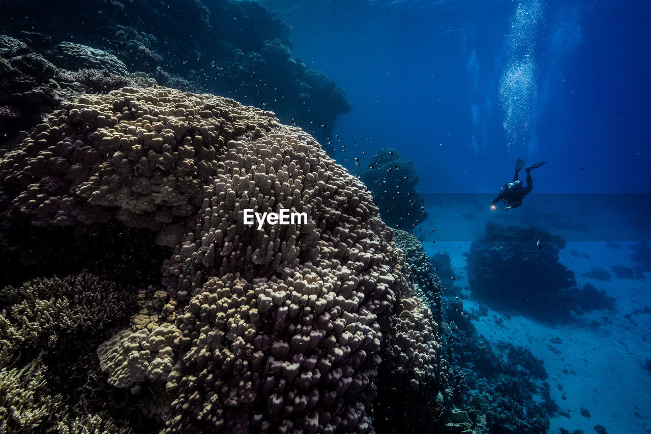 Scuba diver swimming by corals in red sea