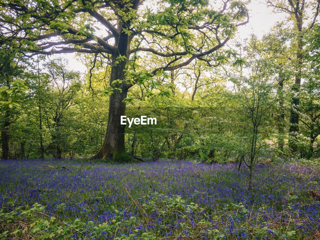 tree, purple, nature, flower, growth, no people, outdoors, beauty in nature, scenics, tranquility, landscape, day, tranquil scene, plant, green color, freshness, flower head, sky, crocus