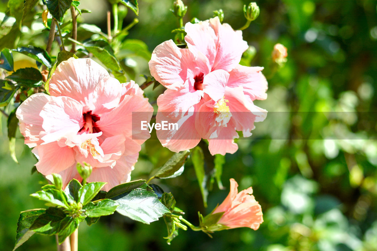 flower, flowering plant, plant, fragility, beauty in nature, vulnerability, freshness, petal, growth, pink color, flower head, inflorescence, close-up, focus on foreground, nature, day, no people, sunlight, outdoors, pollen