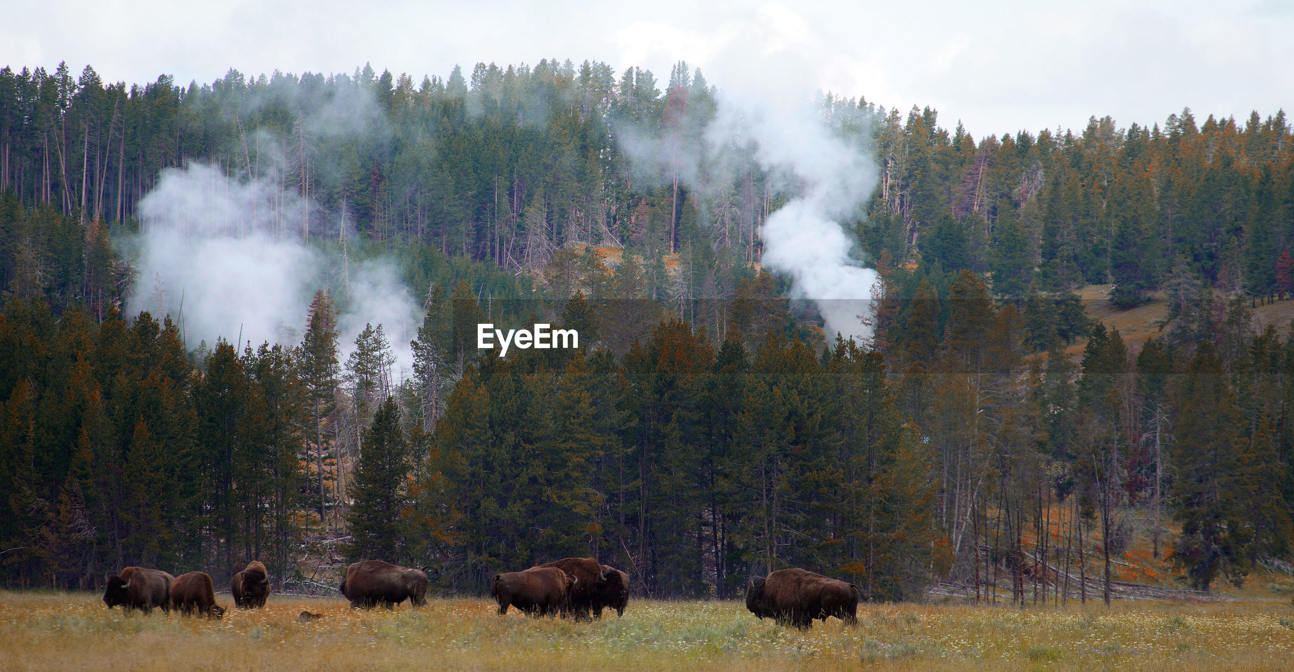 Bison grazing on field in forest