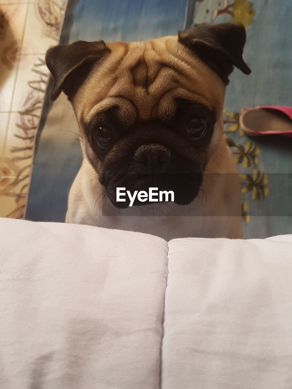 mammal, pets, domestic animals, domestic, one animal, canine, dog, vertebrate, portrait, no people, indoors, looking at camera, close-up, furniture, focus on foreground, pug, home interior, small, whisker