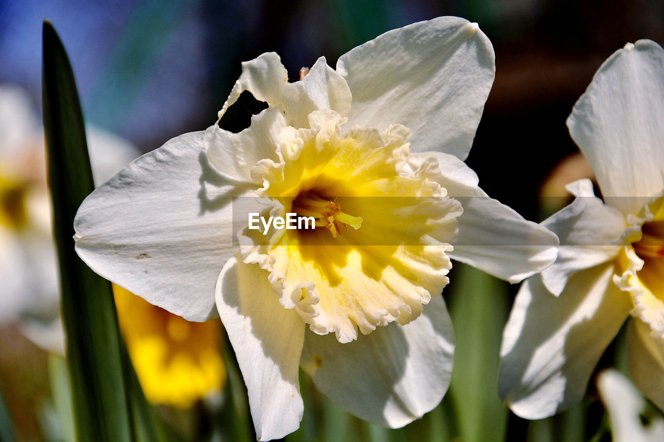 CLOSE-UP OF WHITE AND YELLOW DAFFODIL