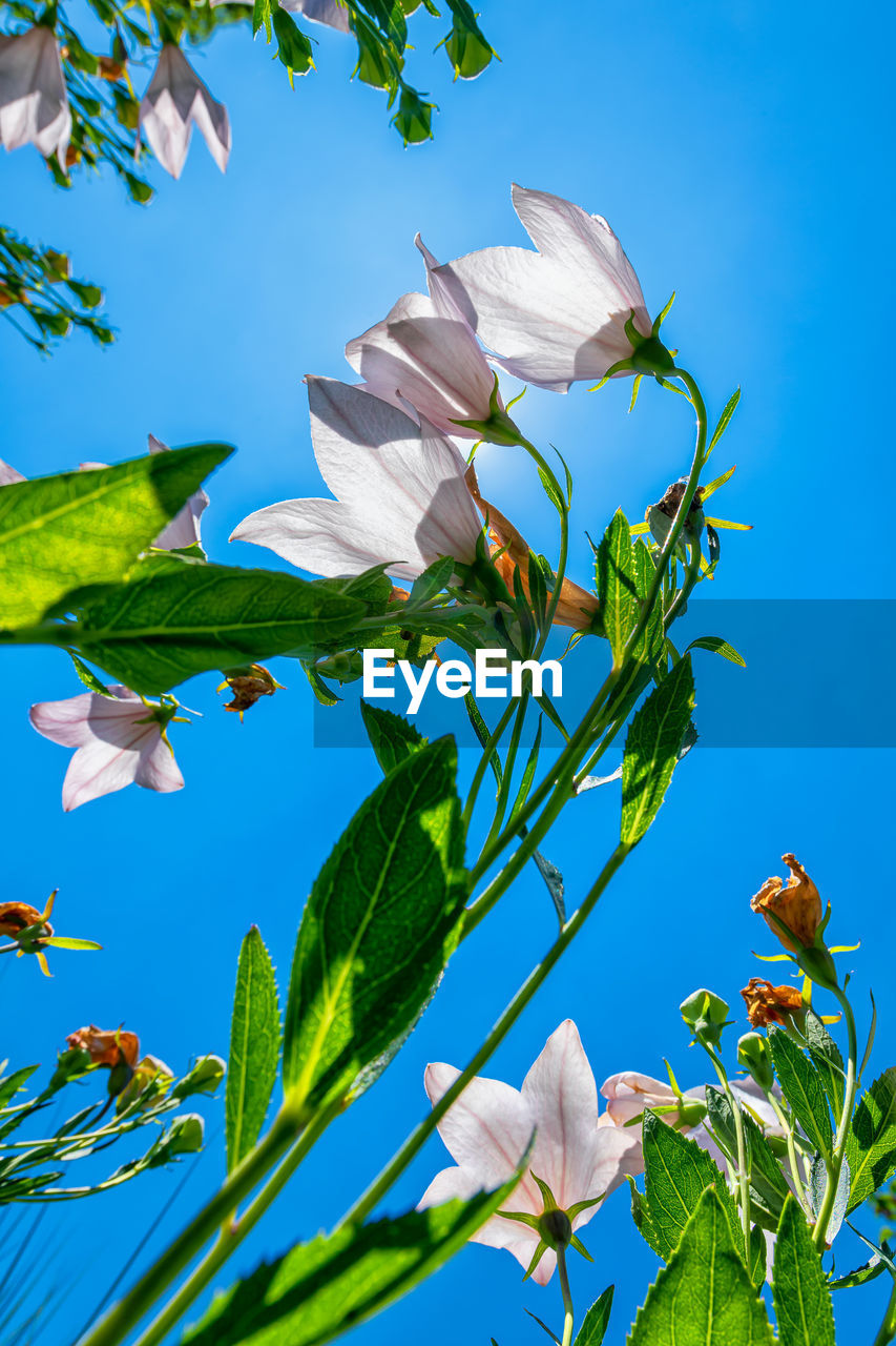 LOW ANGLE VIEW OF FLOWERING PLANTS ON BLUE SKY