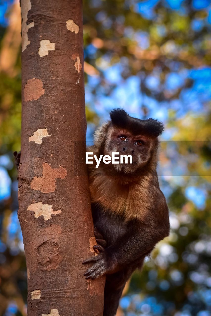 tree, mammal, animal, animal wildlife, animal themes, primate, tree trunk, trunk, animals in the wild, one animal, monkey, vertebrate, focus on foreground, plant, nature, day, no people, outdoors, looking at camera, forest