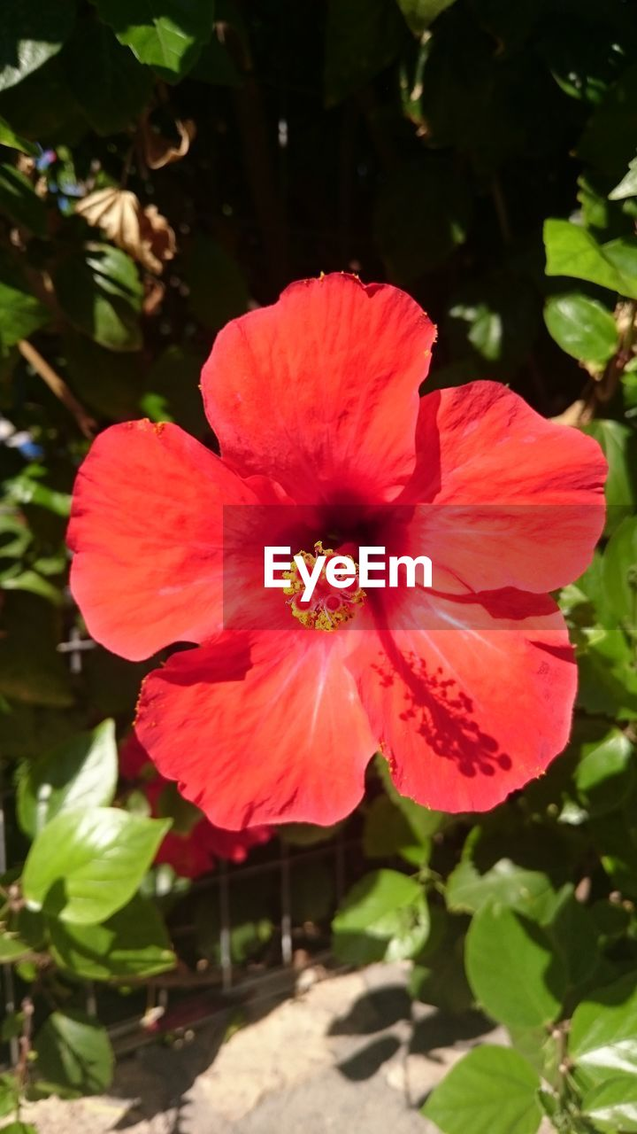 flower, petal, beauty in nature, fragility, flower head, growth, nature, freshness, plant, red, outdoors, blooming, day, hibiscus, no people, leaf, sunlight, pink color, close-up