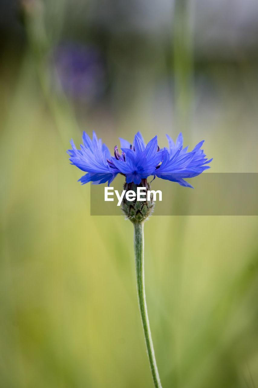 flowering plant, flower, plant, fragility, beauty in nature, vulnerability, freshness, growth, close-up, petal, focus on foreground, flower head, inflorescence, nature, plant stem, day, no people, purple, botany, sepal