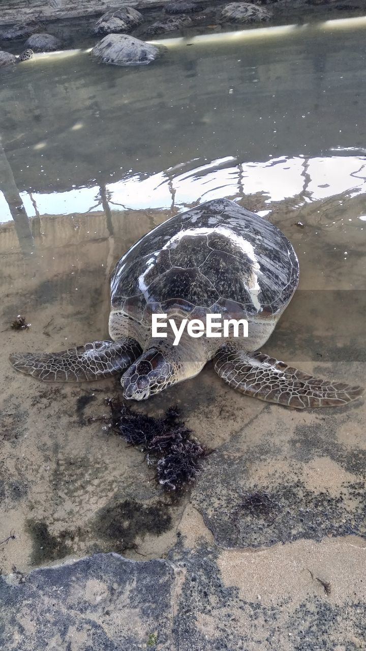 animal themes, animal wildlife, reptile, animals in the wild, water, animal, turtle, vertebrate, lake, one animal, nature, high angle view, no people, day, shell, outdoors, swimming, animal shell, amphibian, marine
