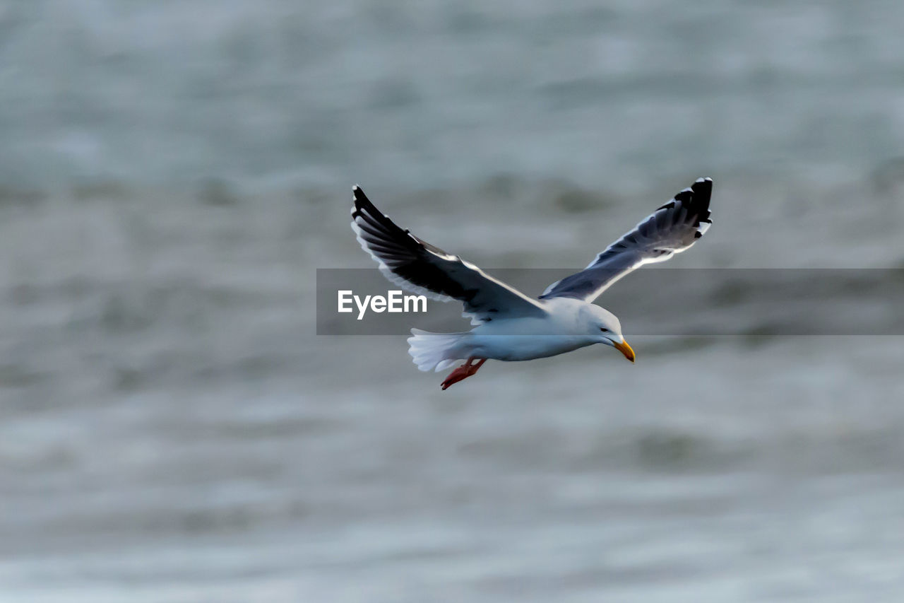animals in the wild, animal wildlife, flying, animal, animal themes, bird, spread wings, vertebrate, one animal, water, mid-air, sea, motion, no people, seagull, waterfront, nature, day, sea bird, outdoors