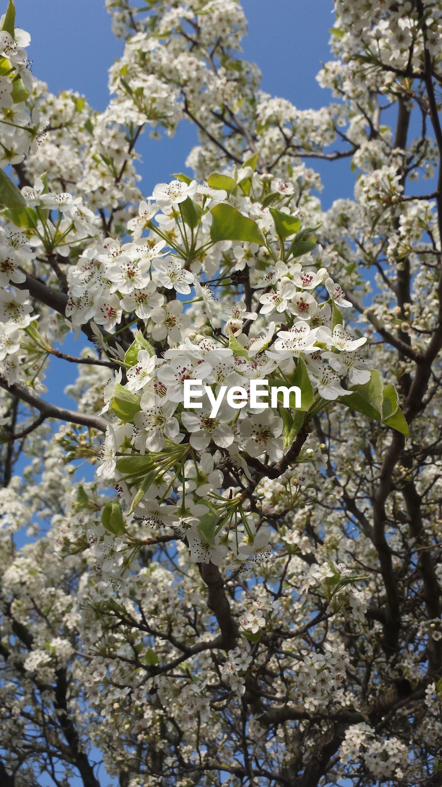 branch, flower, tree, growth, low angle view, freshness, blue, nature, beauty in nature, blossom, fragility, cherry blossom, blooming, springtime, day, in bloom, leaf, clear sky, outdoors, sky
