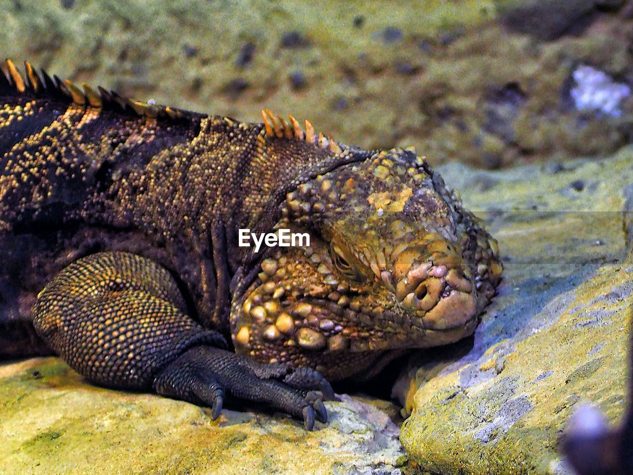animal themes, animal, animals in the wild, animal wildlife, one animal, vertebrate, reptile, rock, rock - object, no people, solid, nature, lizard, close-up, day, relaxation, focus on foreground, animal body part, land, iguana, animal head, marine, animal scale
