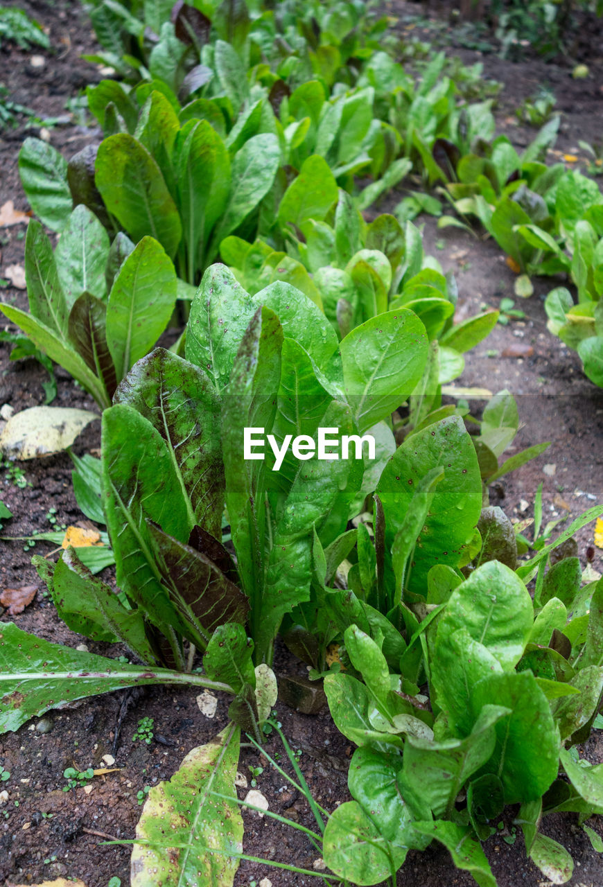 leaf, green color, growth, vegetable, plant, no people, food and drink, freshness, day, outdoors, food, nature, agriculture, field, close-up, healthy eating, lettuce
