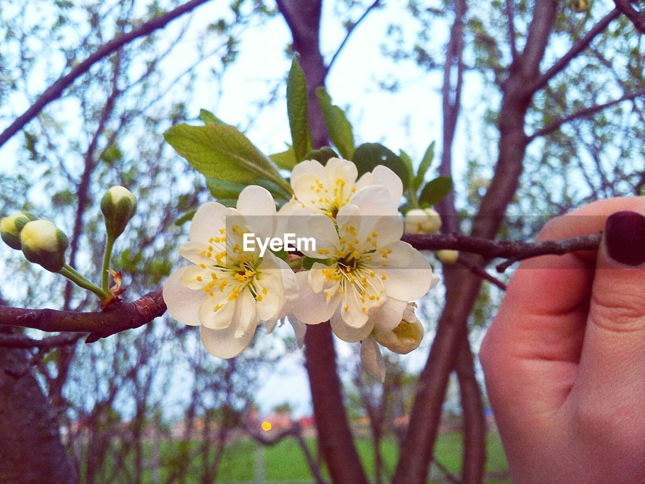 flower, tree, beauty in nature, nature, fragility, branch, human hand, petal, growth, day, outdoors, flower head, springtime, freshness, human body part, focus on foreground, close-up, blooming, one person, sky, people