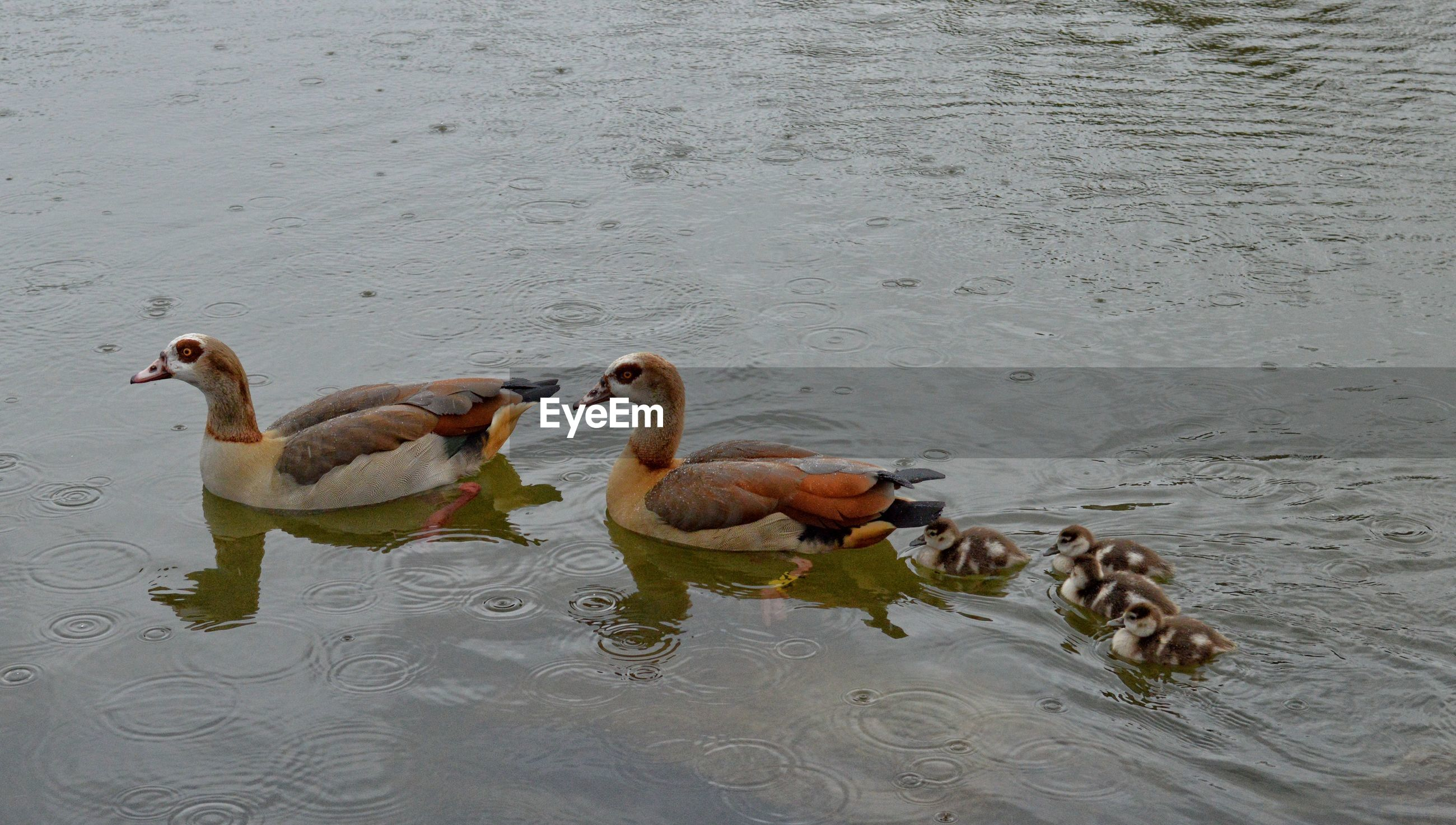 High angle view of egyptian geese with goslings swimming in lake