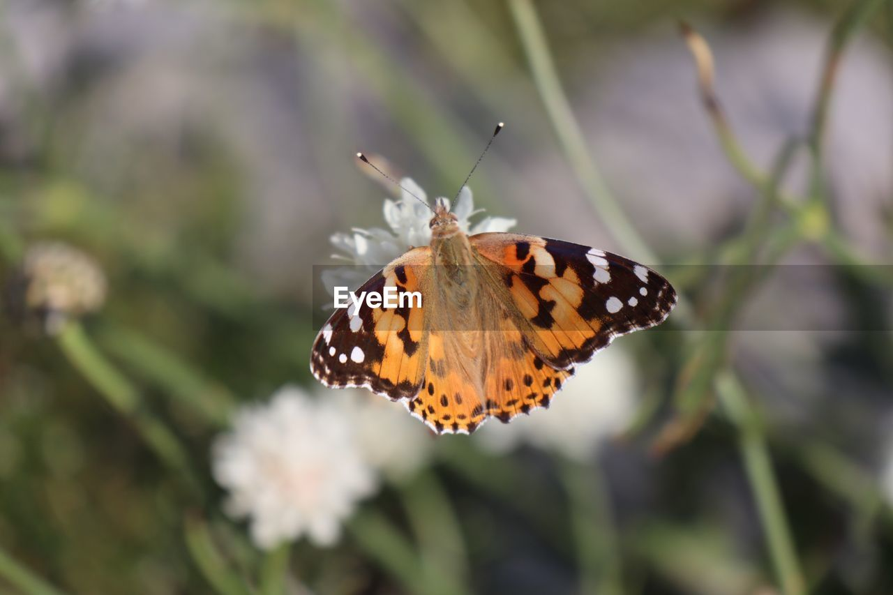 animal wildlife, insect, invertebrate, animals in the wild, animal themes, one animal, animal, butterfly - insect, animal wing, beauty in nature, close-up, flower, focus on foreground, plant, no people, nature, day, animal markings, flowering plant, fragility, outdoors, butterfly, flower head, pollination