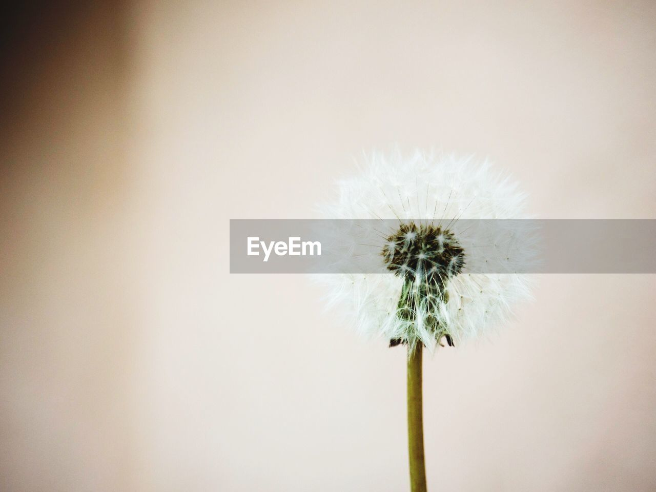 flower, flowering plant, freshness, vulnerability, plant, fragility, dandelion, close-up, beauty in nature, no people, plant stem, flower head, white color, inflorescence, growth, nature, copy space, softness, studio shot, dandelion seed