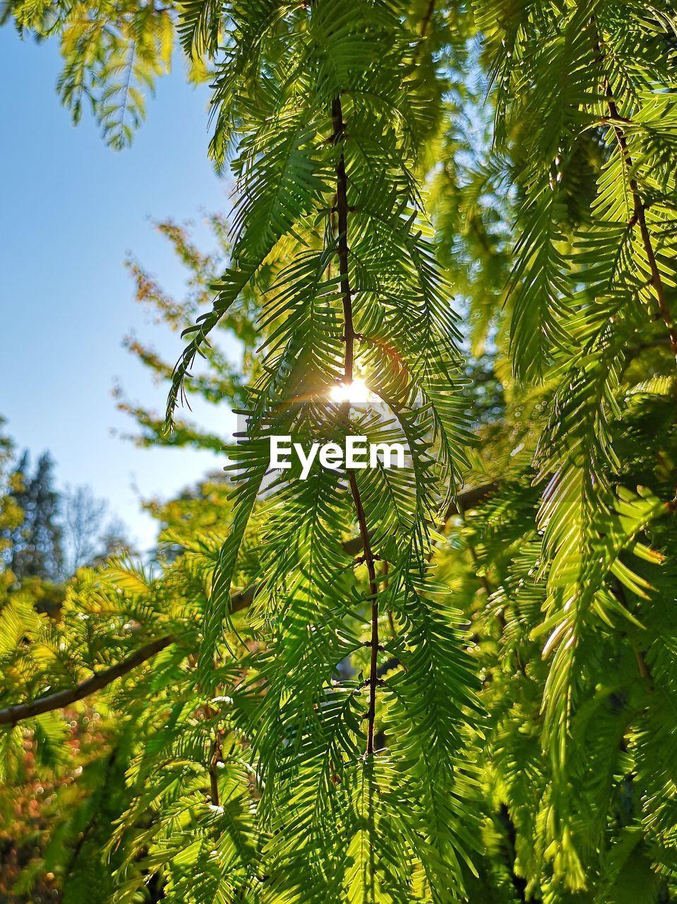 Low Angle View Of Pine Tree